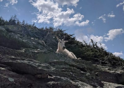 Mountain Goat in Glacier Park